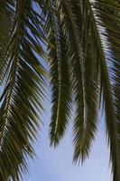 Palmzweige foto