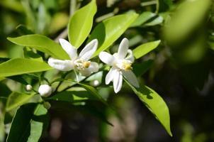 weiße, duftende Orangenblüten gegen dunkelgrüne Blätter