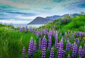 Blick auf den Fjord mit Lupine im Vordergrund, Island