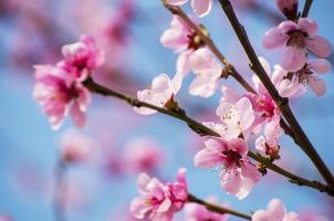 Kirschblüten - hellrosa Sakura auf Nahaufnahme des blauen Himmels