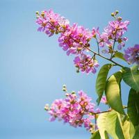 violette Lagerstroemia speciosa Blume gegen blauen Himmel blüht i foto