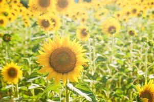 gelbe Sonnenblumen auf einem blauen Himmelhintergrund in der Toskana, Italien foto