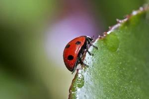 Tiere - roter Marienkäfer
