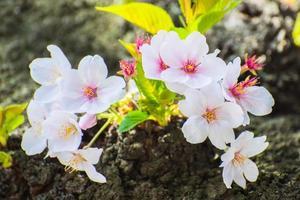japanische Kirschblüte im Frühjahr foto