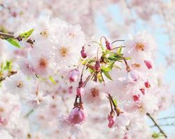 japanische Kirsche foto