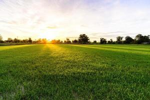 Reisfeld mit Palmenhintergrund am Morgen, Kanchanaburi Thailand.