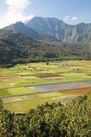 Taro-Plantage foto