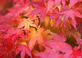 gelbe und rote Ahornblätter feiern den Herbst