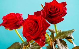 Strauß blühender roter Rosenblumen auf Blau