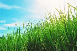 Blätter von Reis foto