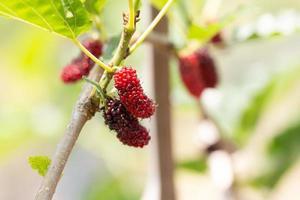 Maulbeerfrüchte zerreißen
