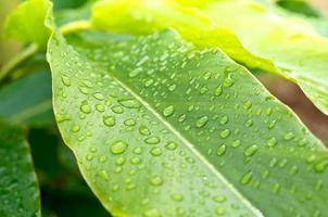 Wasserperlentropfen auf grünem Blatt