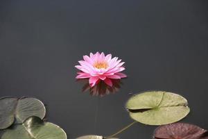 Seerosenblumen zur Verehrung Buddhas.