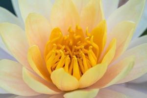 schönes lila Wasser Lilly oder Lotus