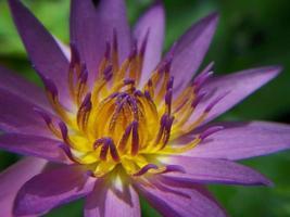 das Herz des Lotus