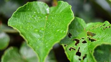 Wassertropfen Zitronenblatt