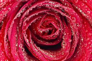 rote Rose mit großen Wassertropfen foto