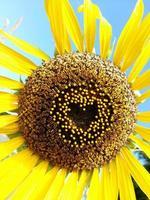 schöne Sonnenblume Herzform Valentinstag foto