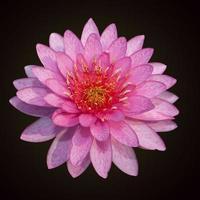 der schöne rosa Lotus isoliert