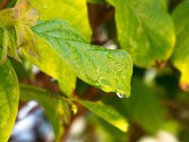 Wassertropfen rutscht von einem grünen Blatt foto