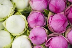 gefaltete Blütenblatt Lotus Seerose