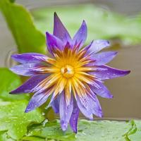 violette Lotusblume