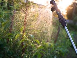 Gartenspritze sprüht Wasser über junge Tomaten