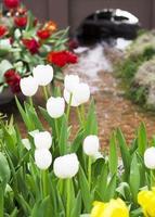 weiße Tulpenblumen blühen und Wasserhintergrund