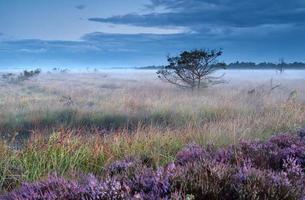 Heideblumen auf Sumpf in nebligen Morgen