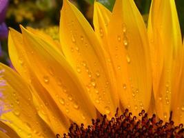Wassertropfen auf einer Sonnenblume foto