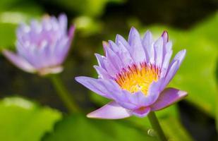 lila Seerose im Teich