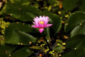 schöner Lotus (einzelne Lotusblume lokalisiert auf weißem Hintergrund)