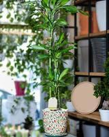 dracaena fragrans massangeana Pflanze foto
