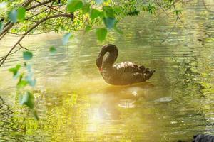 Ein Flamingo schwimmt am Morgen
