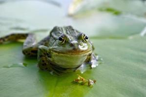 großer grüner Frosch, der auf einer grünen Blattlilie sitzt