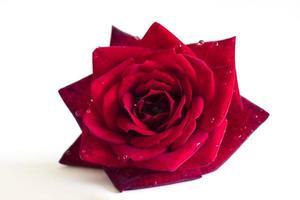 rote Rosenblume mit Tautropfen des Wassers foto