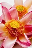 Lotusblütenblatt auf weißem Hintergrund mit Bereich für Ihren Text