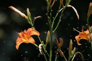 Tigerlilie im Regen