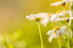weißes Gänseblümchen oder Leukantheme vulgare und Wassertropfen