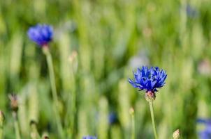 Tauwassertropfen auf Kornblumenblau-Blüten