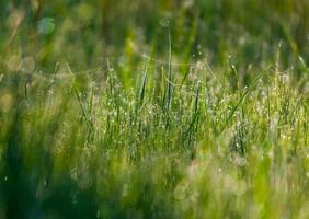 Gras mit Wassertropfen am frühen Morgen foto