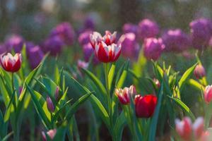 Wassertropfen auf Tulpen im Gartenhintergrund