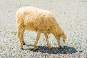 Schafe auf Schotterstraße foto
