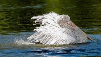 Pelikan im Wasser schwimmen