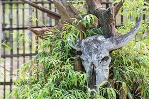 Büffelschädel am Baum