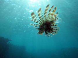 fliegender Feuerfisch foto