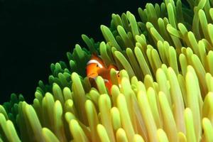 Clownfisch foto