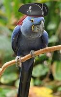 blauer Papagei mit einem Piratenhut, der auf einer Stange sitzt