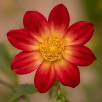 rote und gelbe Dahlie