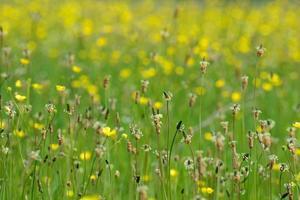 blühende Graslandschaft